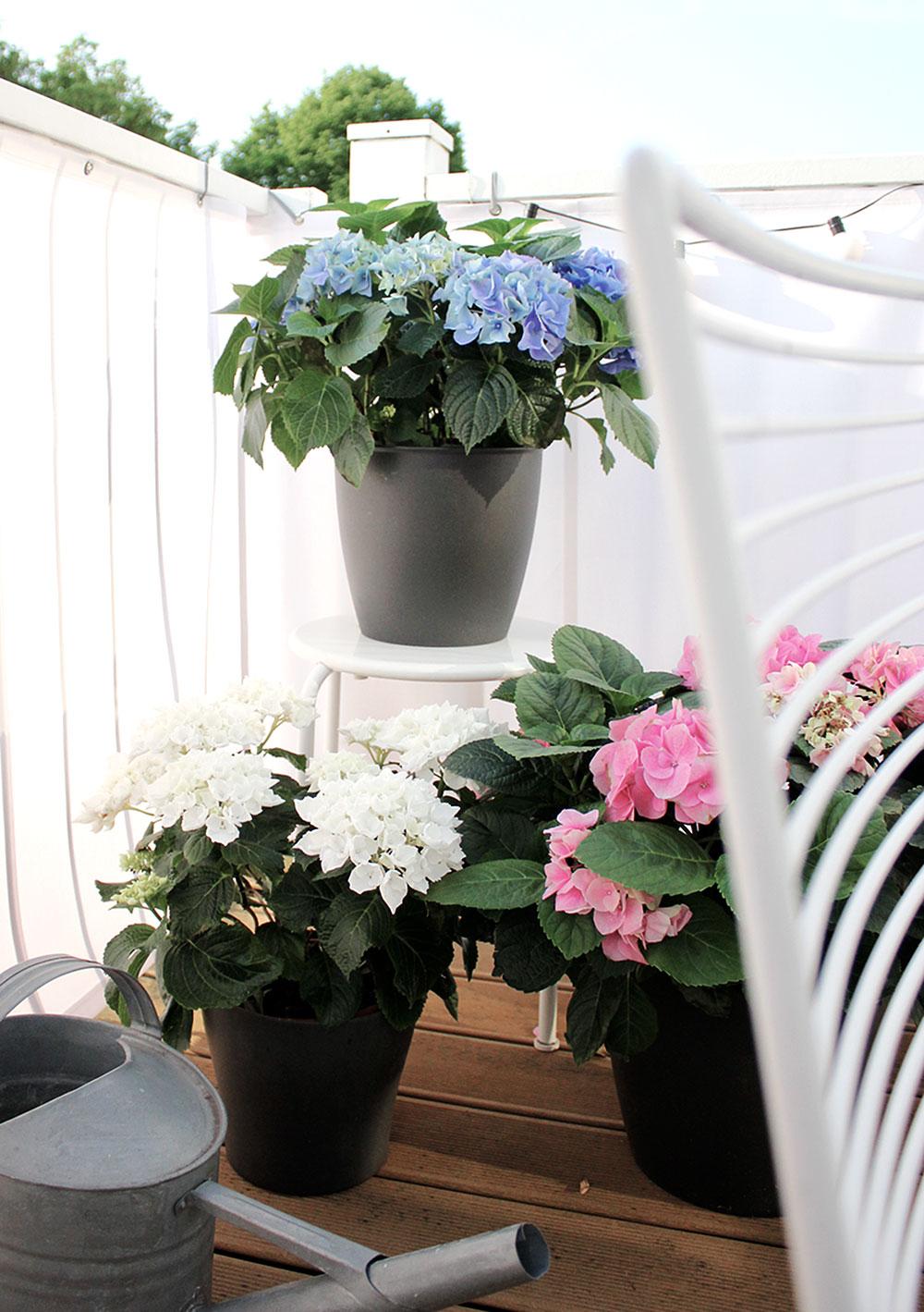 balkon-hortensien-3